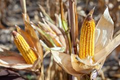 Two mature yellow cob of sweet corn on the field. royalty free stock photos