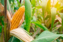 Two mature yellow cob of sweet corn on the field. Collect corn crop.. Two mature yellow cob of sweet corn on the field. Collect corn crop stock photos