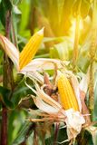 Two mature yellow cob of sweet corn on the field. Collect corn crop stock images