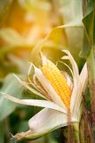Two mature yellow cob of sweet corn on the field. Collect corn crop royalty free stock images