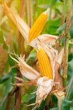 Two mature yellow cob of sweet corn on the field. Collect corn crop stock image