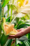 Two mature yellow cob of sweet corn on the field. Collect corn crop.  royalty free stock image