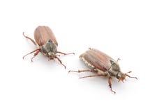 Two may beetles. Stock Photo