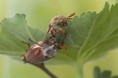 Two maybugs on leaf Royalty Free Stock Images