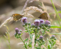 Two Meadow Brown Butterflies on a thistle Royalty Free Stock Photo