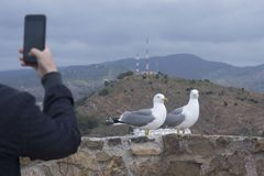 Two Mediterranean gulls Larus michahellis stand on the stone wall of the old fortress.  A man photographs birds on a smartphone. stock image
