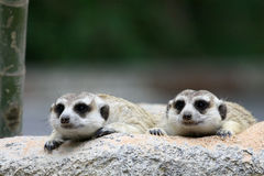 Two meercat looking Royalty Free Stock Images