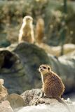 Two meercats Stock Photos