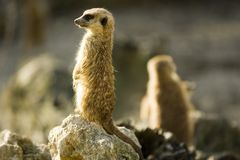 Two meercats Stock Photography