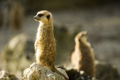 Two meercats Royalty Free Stock Photography