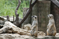 Two Meercats on during looking something Royalty Free Stock Image