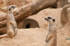 Two Meercats sitting will watch and looking Stock Images