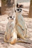 Two Meerka Royalty Free Stock Photo