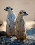 Two Meerkat Stock Photography