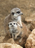 Two Meerkat Royalty Free Stock Images