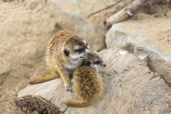 Two meerkat adult and kid sitting next Stock Photos