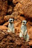Two meerkat in desert Royalty Free Stock Photos