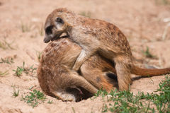 Two meerkat in a funny action Royalty Free Stock Photos