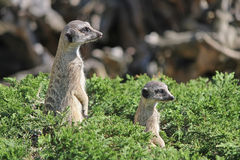 Two meerkat peeking out of the bushes Stock Photos