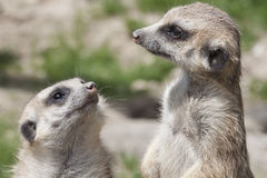 Two meerkat Royalty Free Stock Photography