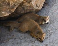 Two meerkat resting under a rock Stock Photo