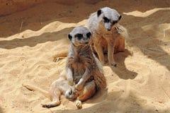 Two Meerkat Stock Photography