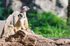 Two Meerkat sitting on the rock for lookout. Guard Stock Photo