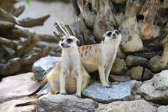 Two meerkat (Suricata suricatta) are watching the. Enemies  in Thailand zoo Royalty Free Stock Photo