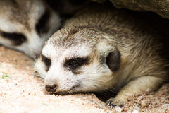 Two meerkat or suricate Royalty Free Stock Images