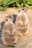 Two Meerkat (suricate) standing Royalty Free Stock Image