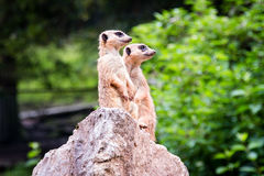 Two meerkat watching Royalty Free Stock Images