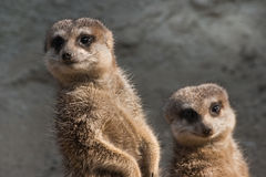 Two meerkats. Standing in the sunshine and looking sidewards Royalty Free Stock Photography