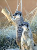 Two Meerkats Royalty Free Stock Photo