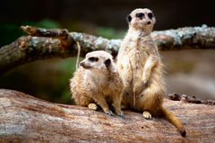 Two Meerkats. Standing watch over their colony. Standing on a tree log, one looking to the right and the other to the left royalty free stock photo
