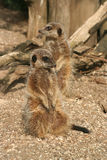 Two meerkats Stock Photo