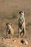 Two meerkats. Next to each other in beautiful light, one upright and one bent down Stock Photography
