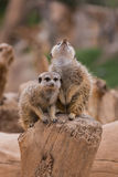 Two meerkats. In the zoo Royalty Free Stock Photos
