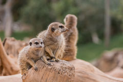 Two meerkats. In the zoo Stock Photos