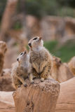 Two meerkats. In the zoo Stock Image