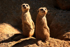Two Meerkats Royalty Free Stock Image