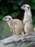 Two Meerkats. Two Meekats on log looking into distance Royalty Free Stock Photography