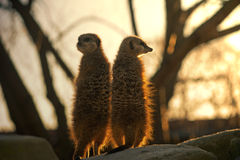 Two Meerkats against the big tree. Pair of Meerkats at sunset keeping a watch out Royalty Free Stock Images
