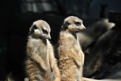 Two meerkats on altert. For the rest of the clan enjoying in the sun Stock Images