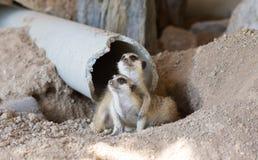Two Meerkats cute animal. Royalty Free Stock Photo