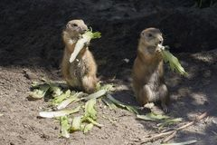 Two meerkats eating lettuce and watching their surroundings. In a zoo stock images