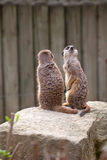 Two meerkats on guard. Two meerkats standing on guard, Knowsley Safari Park Royalty Free Stock Photography