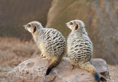 Two Meerkats on Guard duty Royalty Free Stock Photos