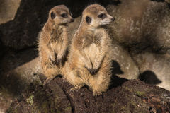 Two meerkats on guard. Picture of two meerkats on guard Stock Photography