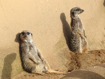 Two meerkats lazing in the sun in front of a wall Stock Image