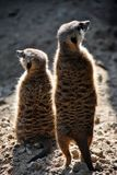 Two meerkats looking in different directions. With their backs to the camera Stock Photography